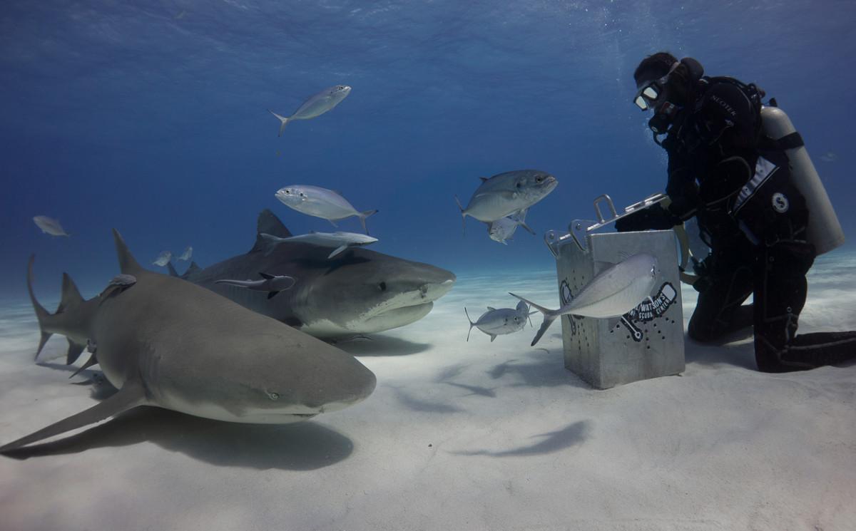 Diving Tiger Beach 1