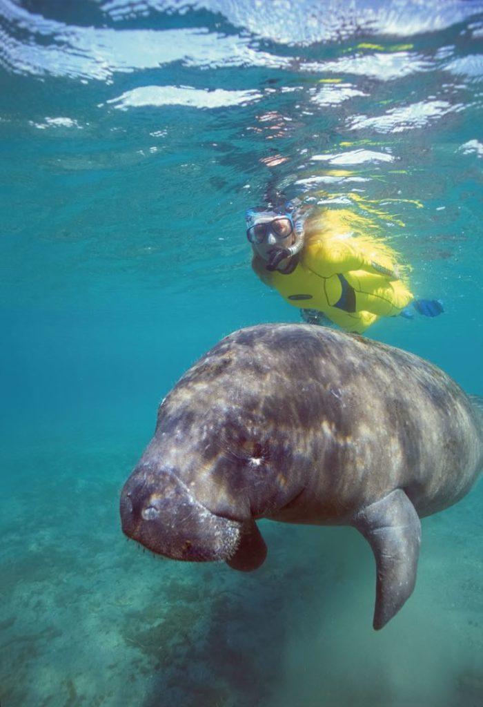 manatee diving 7