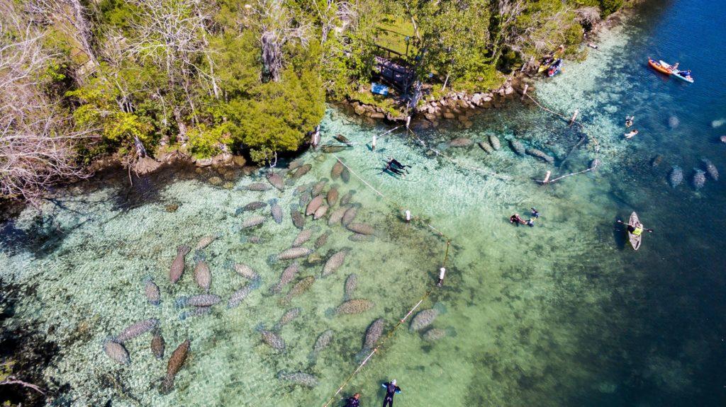 manatee diving 1
