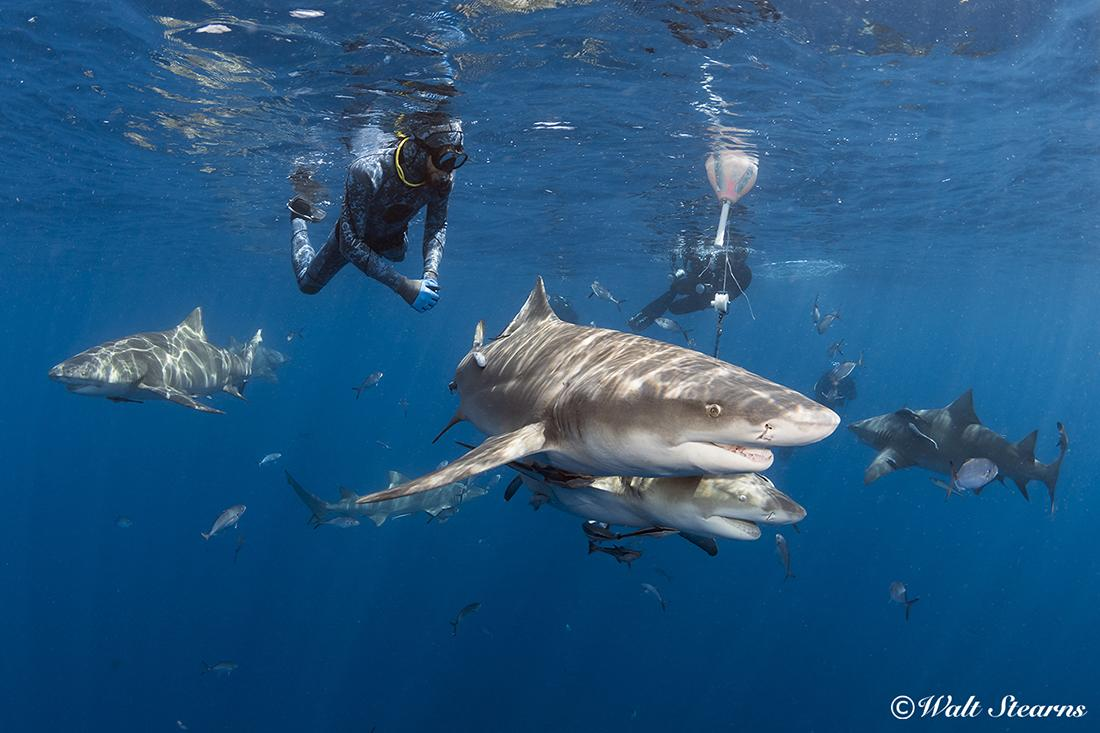 Snorkelers swimming with lemon sharks 4 miles offshore of Florida's southeast coast.