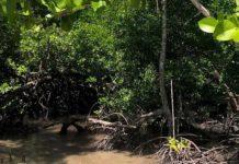 Mangroves Trees of life