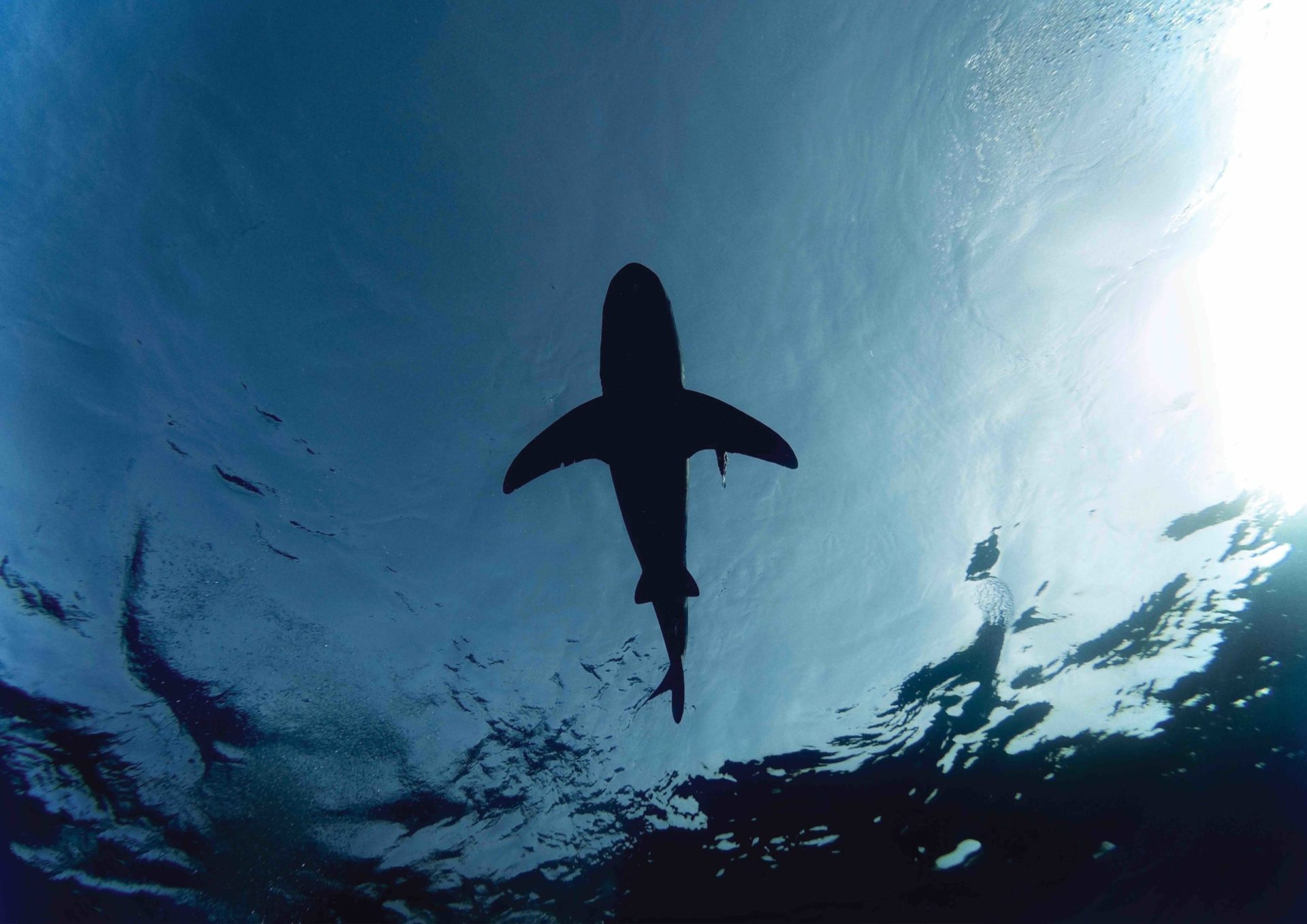 Sharks Sharks Sharks