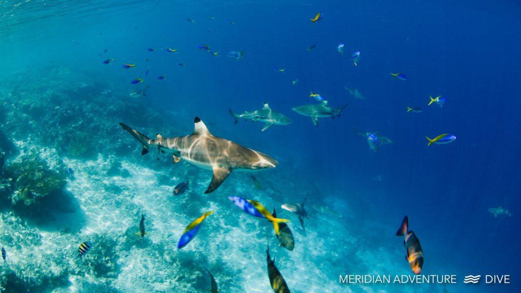 Sharks of Raja Ampat