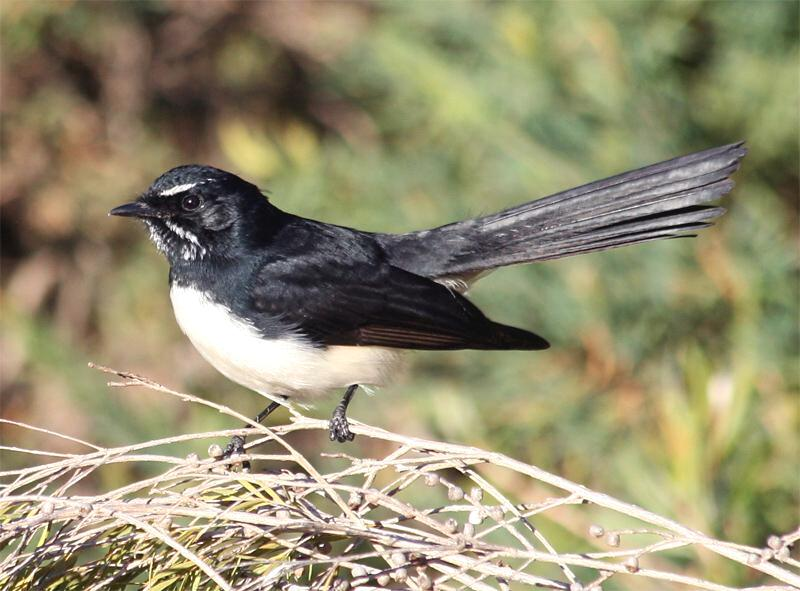 The Story of Willie Wagtail