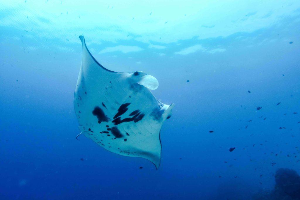 Magical Manta Ray Migration