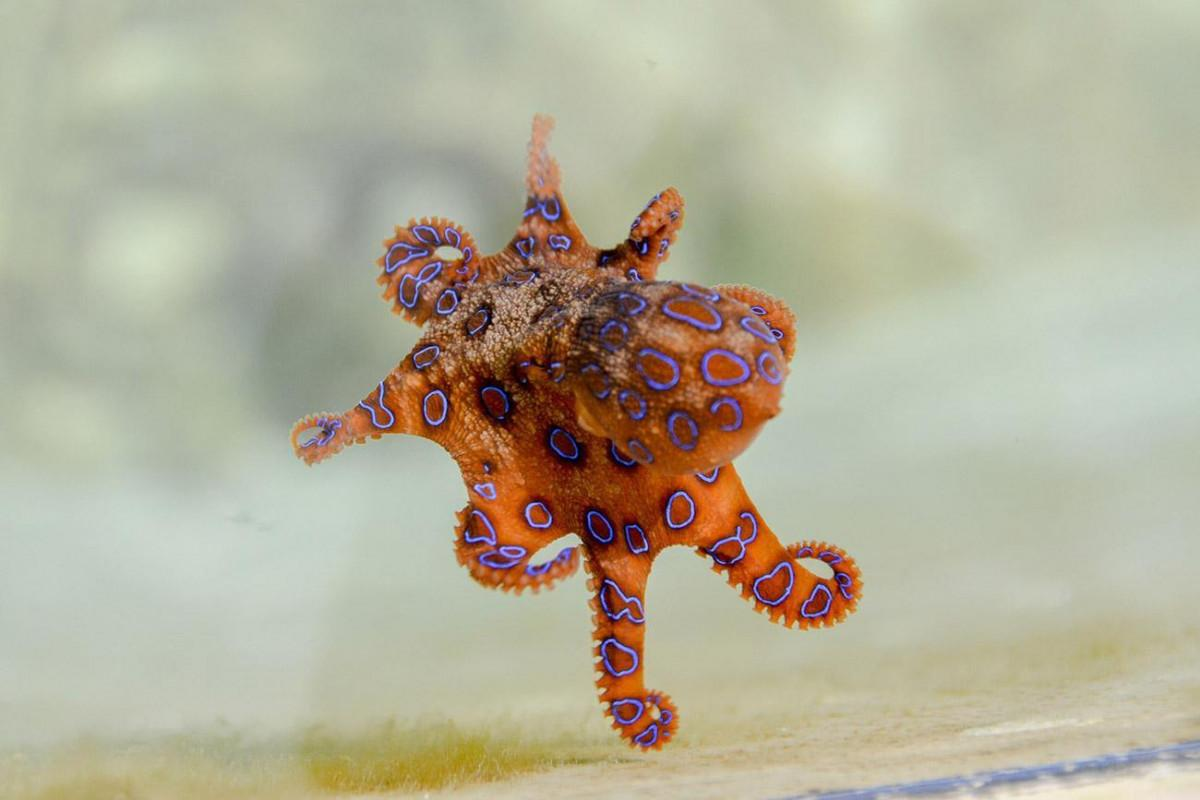 Tourist Handles Blue Ringed Octopus Without Knowing About its Lethal Venom