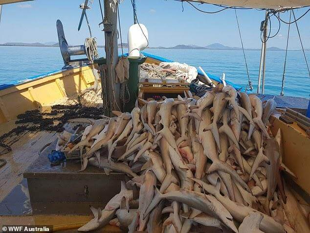WWF Australia releases images of dead sharks off the Great Barrier Reef