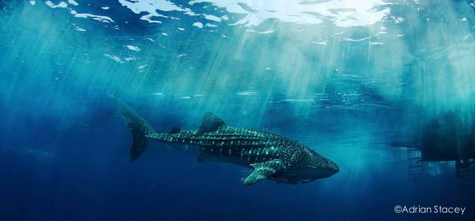 Whale Shark Close to a Boat